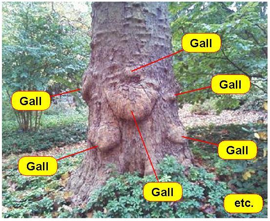 Gall 1