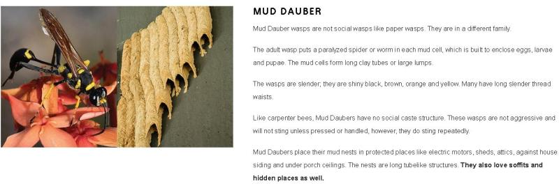 Mud Daubers 2